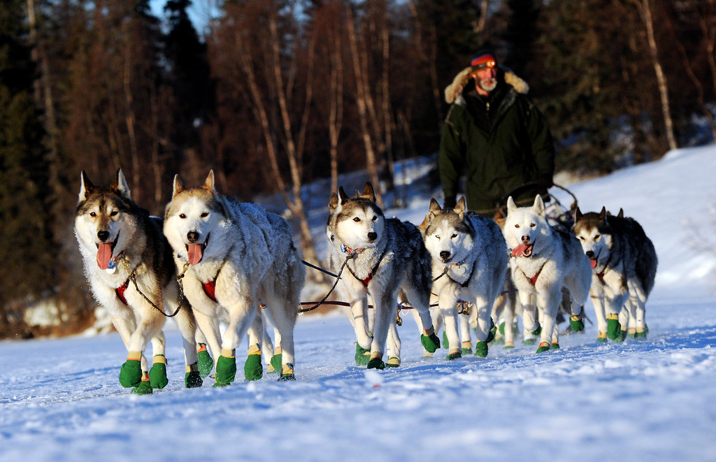. Mike Ellis comes into the Finger Lake checkpoint during the 2014 Iditarod Trail Sled Dog Race on Monday, March 3, 2014, near Wasilla, Alaska. (AP Photo/The Anchorage Daily News, Bob Hallinen)