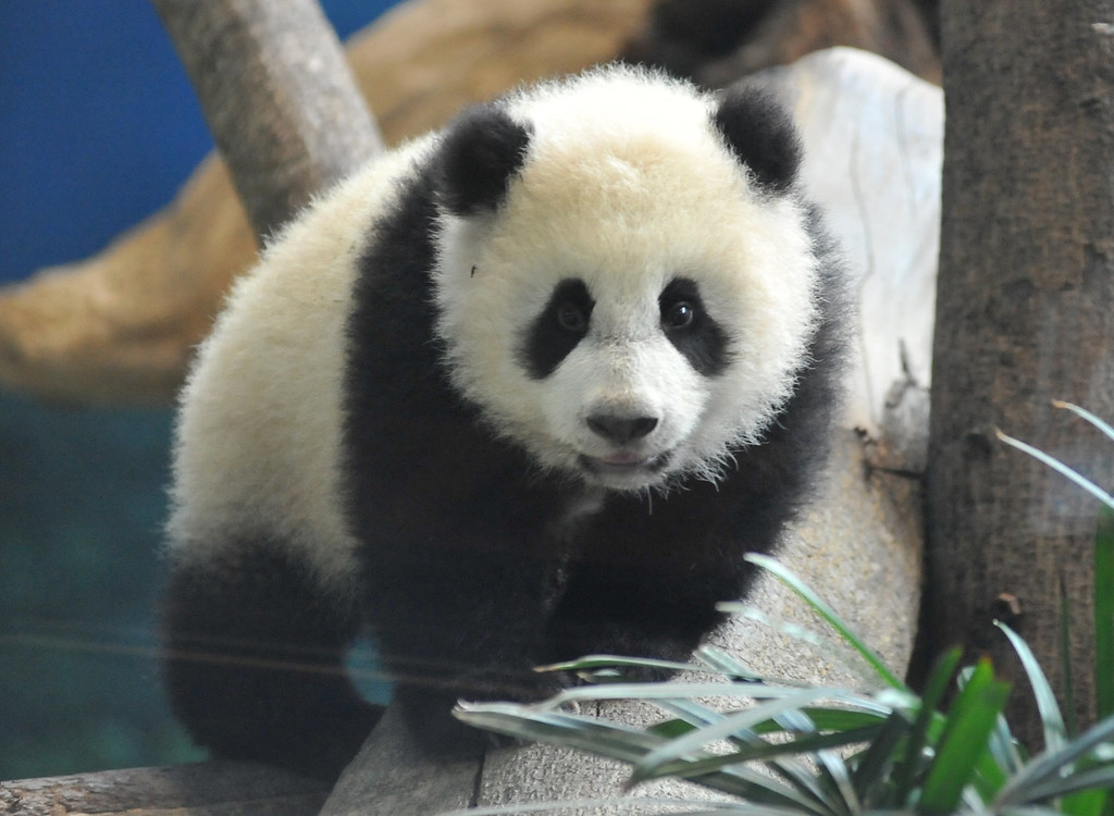 . Yuan Zai , the first Taiwan-born baby panda, plays inside its enclosure at the Taipei City Zoo on January 6, 2014.  Yuan Zai, who weighed 180 grams (6.35 ounces) at birth, now weighs about 14 kilos (31 lbs) and make made her anticipated public debut as she turned six months old.      Mandy Cheng/AFP/Getty Images