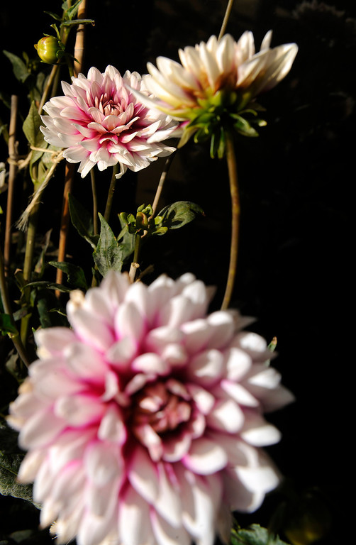 ". ""I\'m a big dahlia fan, and they thrive up here,\"" says Trimpa, who grew up on a small farm in southwestern Kansas, amazed by his grandmother\'s gardening skill. (Cyrus McCrimmon, The Denver Post)"
