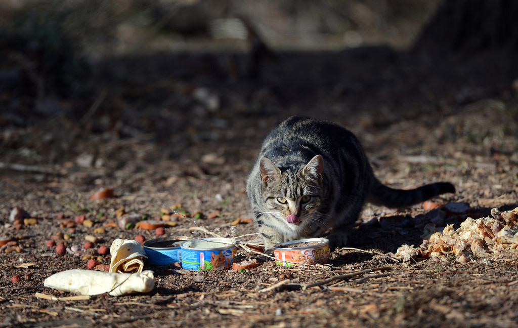 . A cat eats food left on South Platte River Dr., where a colony of feral cats is living in Denver, CO, Friday December 07, 2012. Craig F. Walker, The Denver Post