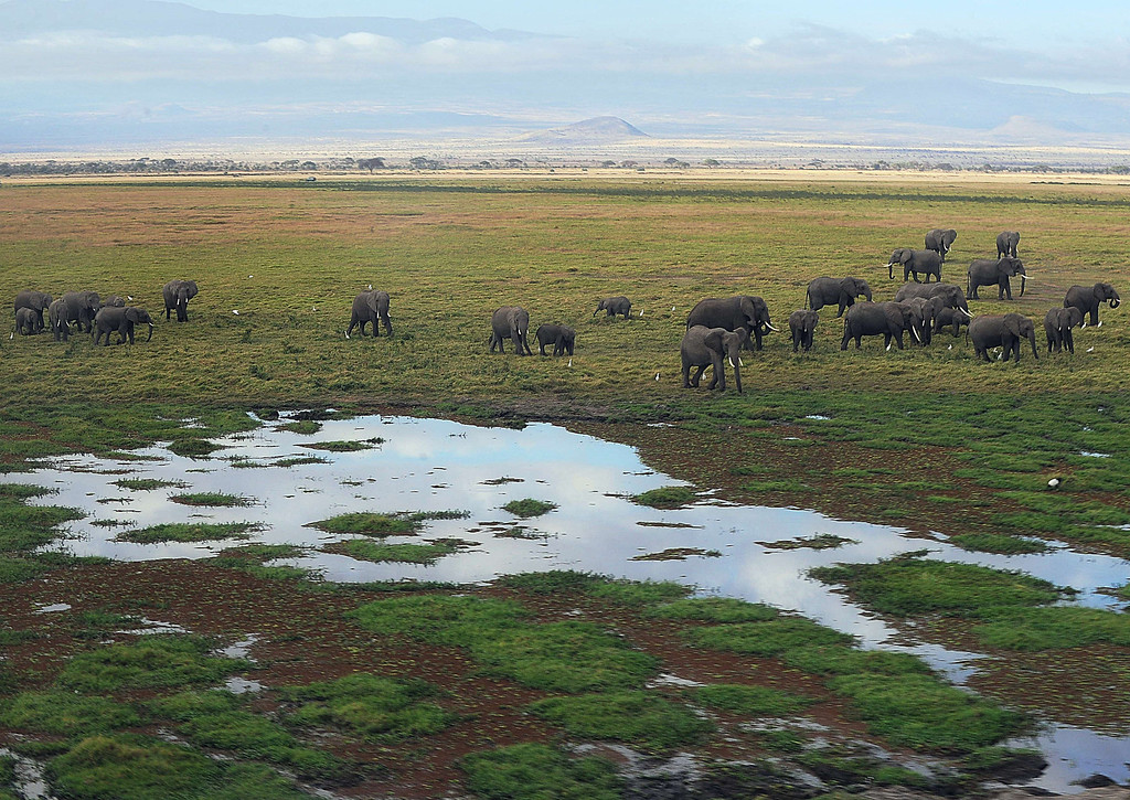 . Elephants walk next to a marsh on October 8, 2013 at Amboseli National Park, approximately 220 kms southeast of Nairobi. Kenyan and Tanzanian governments started on October 7 a joint aerial count of elephants and other large mammals in the shared ecosystem of the Amboseli-West Kilimanjaro and Natron- Magadi landscape. The one-week exercise, cost 104,000 US dollars, is a collaboration between the two countries and the Kenya  Wildlife Service (KWS), Tanzania Wildlife Research Institute (TAWIRI) and the African Wildlife Foundation (AWF) among others. TONY KARUMBA/AFP/Getty Images