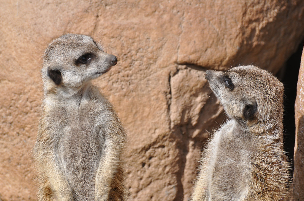 ". The Cheyenne Mountain Zoo in Colorado Springs has seven meerkats in different ""mobs\"" and offers a meerkat cam on its website (cmzoo.org/animalsPlants/animalCams/meerkatCam.asp).  Photo provided by Cheyenne Mountain Zoo"