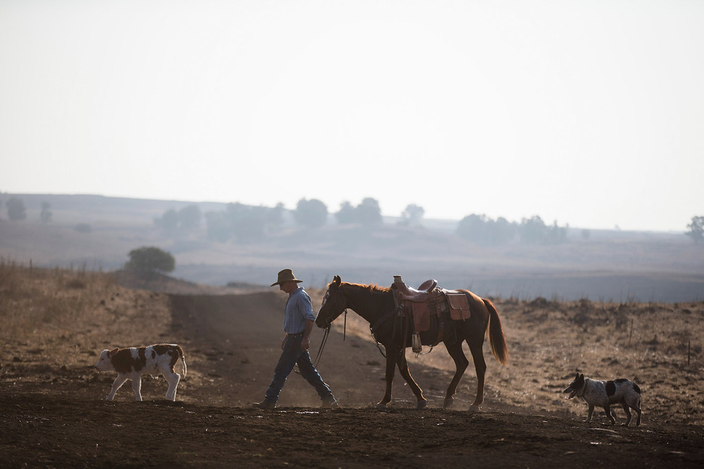 . Israeli cowboy Yechiel Alon walks with his horse after he finished moving his herd, at the Merom Golan ranch on November 14, 2013 in the Israeli-annexed Golan Heights. Israeli cowboys have been growing beef cattle in ranches on the Golan Heights disputed strategic volcanic plateau for over 30 years, Land which is also used by the Israeli army as live-fire training zones. The disputed plateau was captured by Israel from the Syrians in the 1967 Six Day War and in 1981 the Jewish state annexed the territory.   (Photo by Uriel Sinai/Getty Images)