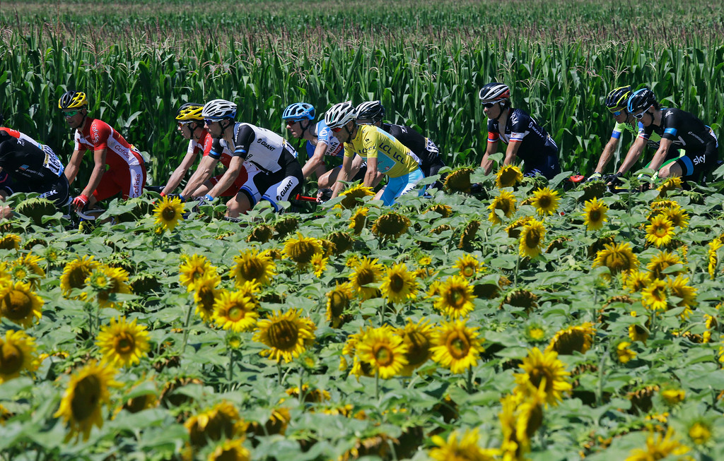 . The pack with Italy\'s Vincenzo Nibali, wearing the overall leader\'s yellow jersey, passes a field of sunflowers during the eleventh stage of the Tour de France cycling race over 187.5 kilometers (116.5 miles) with start in Besancon and finish in Oyonnax, France, Wednesday, July 16, 2014. (AP Photo/Laurent Cipriani)