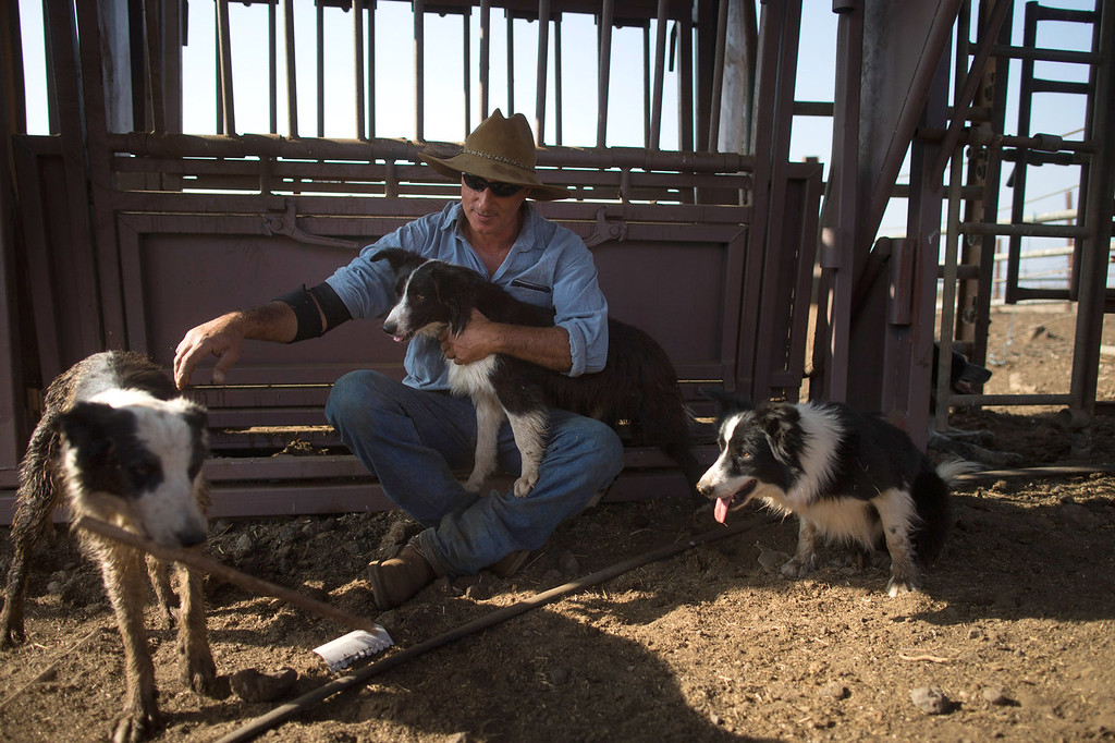 . Israeli cowboy Yechiel Alon rplays with his dogs after he finished moving his herd, at the Merom Golan ranch on November 14, 2013 in the Israeli-annexed Golan Heights. Israeli cowboys have been growing beef cattle in ranches on the Golan Heights disputed strategic volcanic plateau for over 30 years, Land which is also used by the Israeli army as live-fire training zones. The disputed plateau was captured by Israel from the Syrians in the 1967 Six Day War and in 1981 the Jewish state annexed the territory.   (Photo by Uriel Sinai/Getty Images)