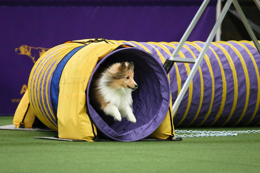 . Spring, a Shetland Sheepdog, exits the tunnel obstacle during the Masters Agility Championship the Westminster Kennel Club staged at Pier 94, Saturday, Feb. 8, 2014, in New York. The competition marks the first time mixed-breed dogs have appeared at Westminster since early in the show\'s 138 years. (AP Photo/John Minchillo)