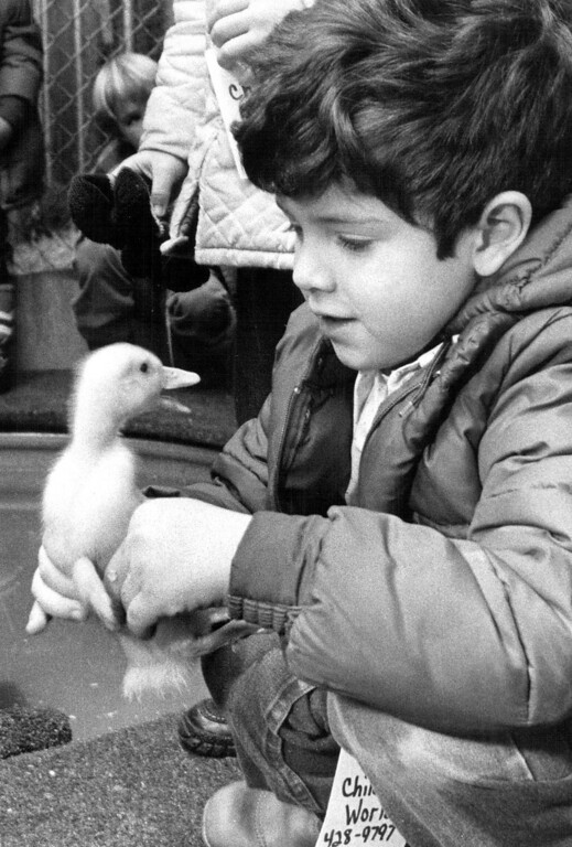 . \'Whaddaya Mean? Everybody Out of the Pool!\' That could be what this downy little duck is trying to tell Joshua Bartelson, of Westminster Children\'s World, educational day-care center, during a quick encounter at Colorado Future Farmers of America kiddies ranchland exhibit, during 1980 National Western Stock Show. Duck headed for heat lamp when freed. Howard T. Ryan, The Denver Post