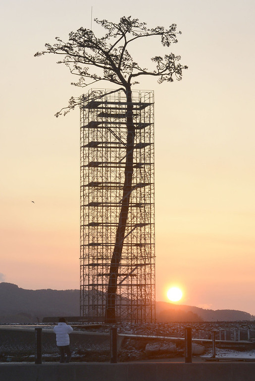 ". An artificially-restored ""miracle pine tree,\"" that survived the March 11, 2011 tsunami, is silhouetted against the rising sun in Rikuzentakata, Iwate prefecture, Japan, Monday, March 11, 2013. Japan marked the second anniversary of its earthquake, tsunami and nuclear catastrophe, that killed nearly 19, 000 people in areas along Japan\'s northeastern coast. The 27-meter (88-foot and 7-inch)-tall tree, a single survivor among 70,000 trees in a forest along the coast, has just been restored in a project to preserve it. (AP Photo/Kyodo News)  JAPAN OUT,  MANDATORY CREDIT, NO LICENSING IN CHINA, HONG KONG, JAPAN, SOUTH KOREA AND FRANCE"