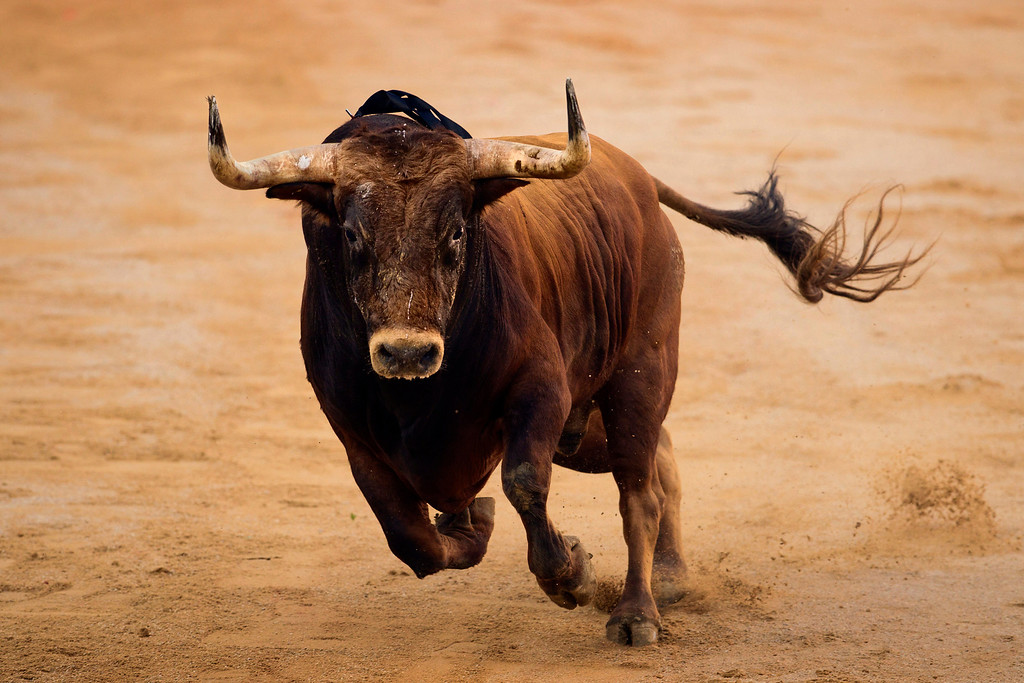 . In this July 14, 2012 file photo, a Torrehandilla ranch fighting bull jumps to the arena during a bullfight in Pamplona, Spain.  This photo is one in a series of images by Associated Press photographer Daniel Ochoa de Olza that won the second place prize for the Observed Portrait series category in the World Press Photo 2013 photo contest.  (AP Photo/Daniel Ochoa de Olza, File)