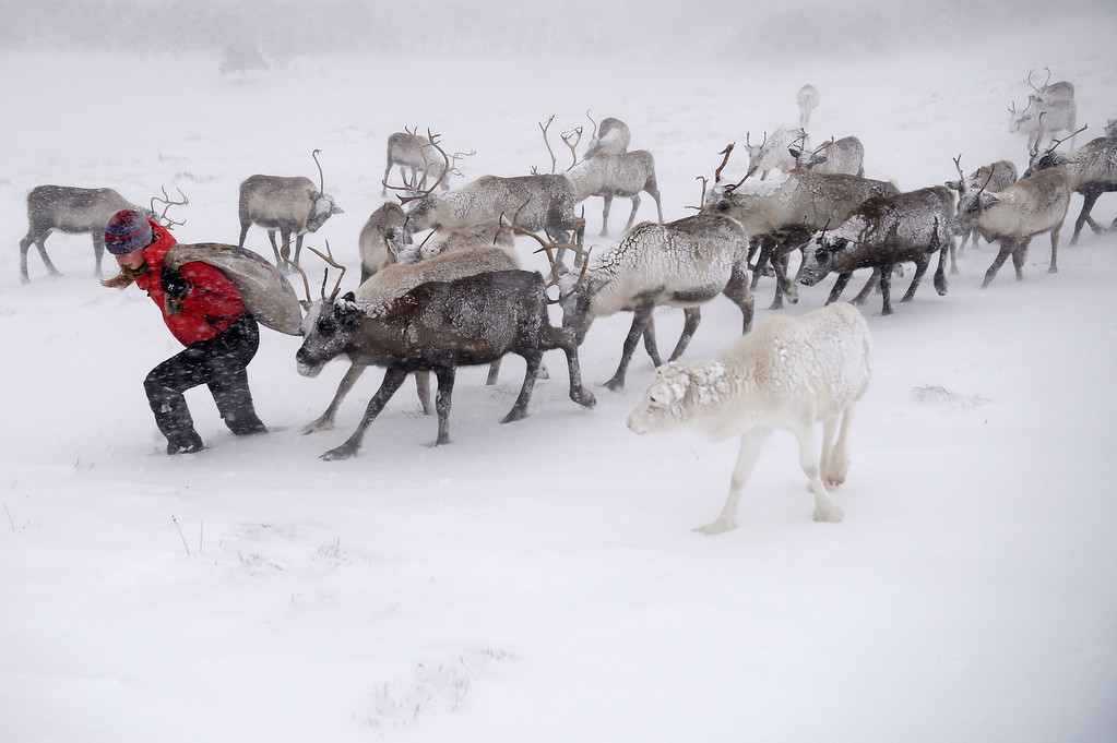 . Eve Grayson, a Reindeer herder of the Cairngorm Reindeer Herd, feeds the deer on December 23, 2013 in Aviemore, Scotland. Reindeer were introduced to Scotland in 1952 by Swedish Sami reindeer herder, Mikel Utsi. Starting with just a few reindeer, the herd has now grown in numbers over the years and is currently at about 130 by controlling the breeding. The herd rages on 2,500 hectares of hill ground between 450 and 1,309 meters and stay above the tree line all year round regardless of the weather conditions.  (Photo by Jeff J Mitchell/Getty Images)