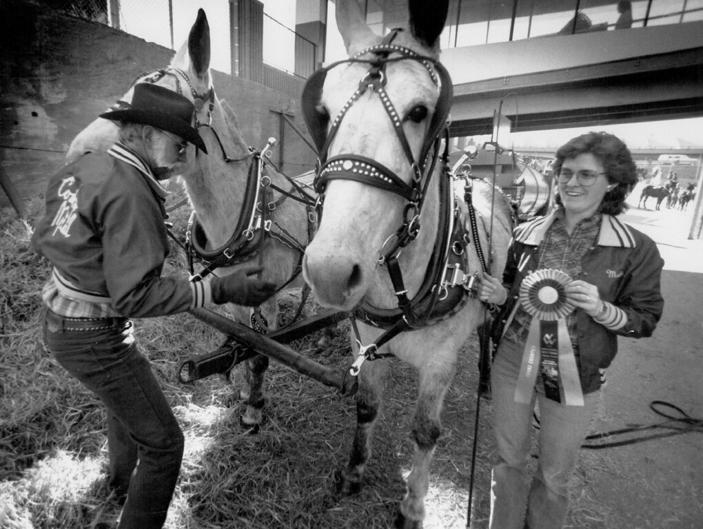 """. W.D. Cowboy\"""" Hamm unharnesses his two gray mules,Jenny and Kate,after he and daughter  Melody Brandt finished first finished first in mule precision driving. Hamm collects the old horse drawn wagons, and has over 60 assorted vehicles. David Denney, The Denver Post"""