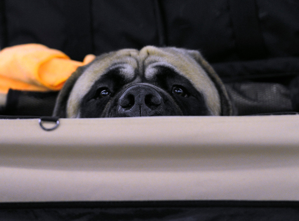 ". DENVER, CO. - FEBRUARY 15: ""Leo\"" a mastiff from Salida peers out from his dog house. The 18th annual Rocky Mountain Cluster Dog Show begins at the National Western Complex with over 150 different breeds showing. The dogs can be seen in conformation, obedience, and agility competitions which has dogs running through tunnels, and leaping over jumps. The show runs through Feb. 18 and is open to the public. (Photo By Kathryn Scott Osler/The Denver Post)"