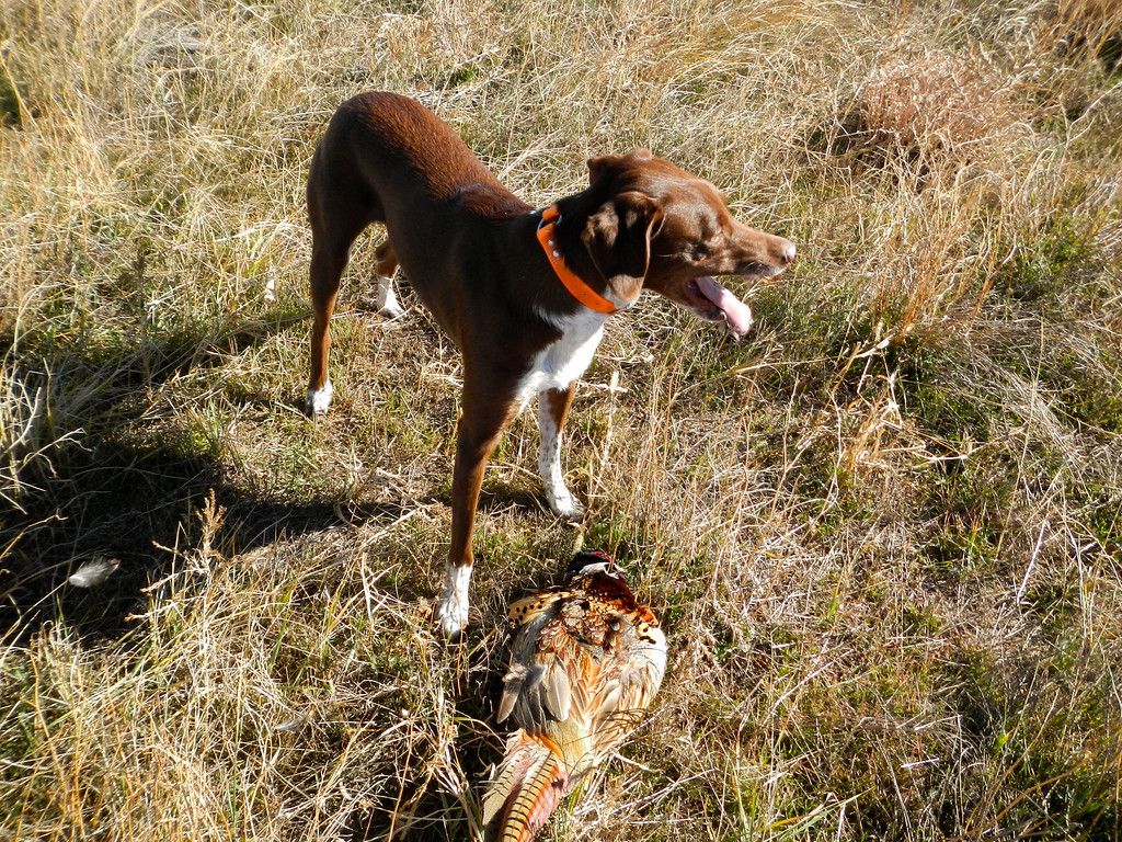 . Bailey pants with pride after running down a ringneck and dropping it at her master\'s feet on opening day of pheasant season, Saturday, November 9, 2013. Scott Willoughby, The Denver Post