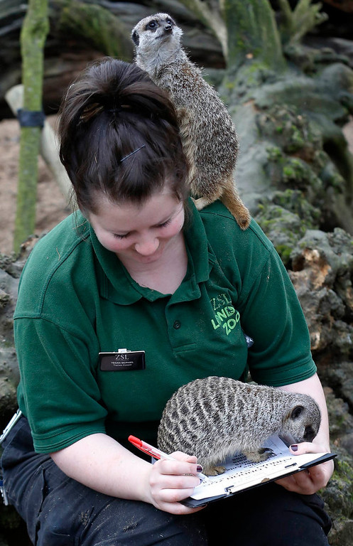 . Zoo keeper Tegan McPhail posers with meerkats during the annual stock take at London Zoo January 3, 2013. The compulsory count of more than 17,500 animals is noted annually as part of the zoo\'s licence, and the information is logged with the International Species Information System (ISIS), used for managing international breeding programs of endangered animals.  REUTERS/Luke MacGregor