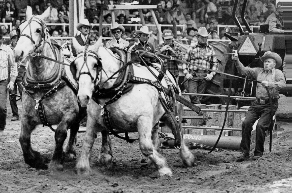 . A strap snapped during the heavyweight pulling contest at the National Western Stock Sh6w in Denver, and suddenly one of Wefts Jackson\'s two, huge draft horses was on the ground. But under Jackson\'s guidance, the animal got back on its feet and  finished the putt. The teamster; from Lewiston, Utah, later was named best in the competition for the way he handled his team during the incident. the horses were attempting to pull a sled carrying more than their  combined Weight, or upwards of 3,250 pounds. 1982. Dave Buresh, The Denver Post