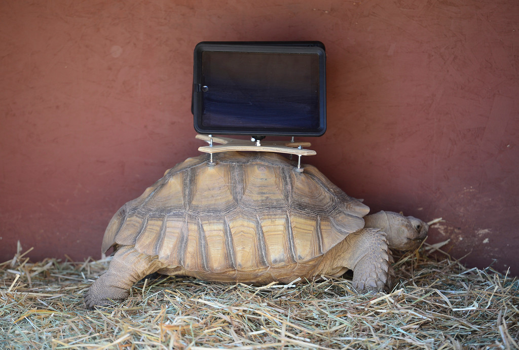 . A group of protesters are objecting to Aspen Art Museum officials who plan to place iPads on tortoises during an art exhibition this weekend. The stunt is planned as a part of the 24-hour public opening of the new art museum on Saturday. The debut show on the rooftop sculpture garden, put together by artist Cai Guo-Qiang, features desert tortoises wandering around the space with iPads attached to their shells with specially designed mounts. The iPads will be showing footage of abandoned ghost-town cabins from around the valley, images that were previously recorded with the devices while they were attached to the tortoises� shells. (Photo by Kathryn Scott Osler/The Denver Post)