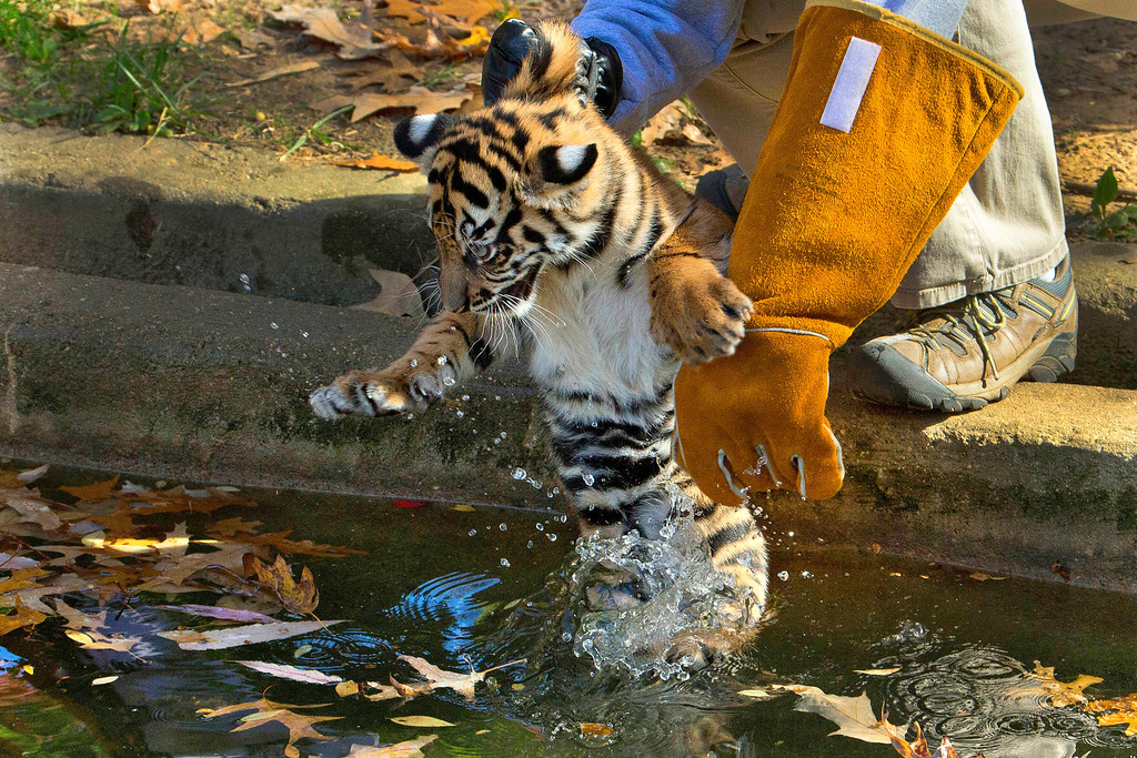 ". A three-month-old Sumatran tiger cub named ""Sukacita\"" is lowered into the tiger exhibit moat for a swim reliability test at the National Zoo in Washington, Wednesday, Nov. 6, 2013.  (AP Photo/Manuel Balce Ceneta)"