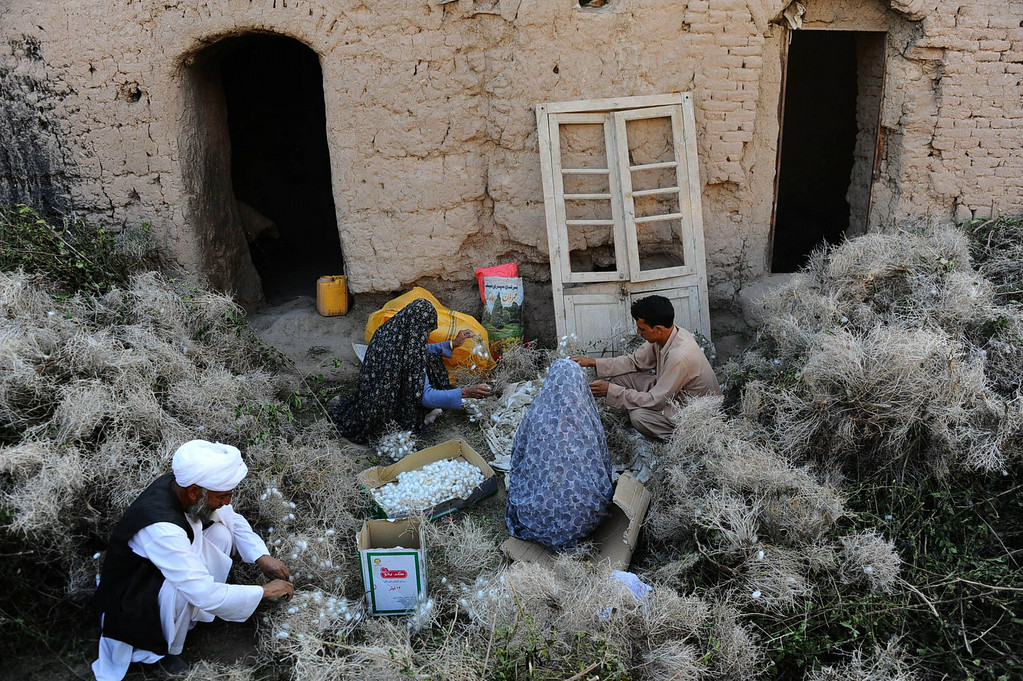 . In this photograph taken on May 22, 2014, an Afghan family collects cocoons from dried mulberry leaves in Zandajan district of Herat province.AFP PHOTO/Aref  Karimi/AFP/Getty Images