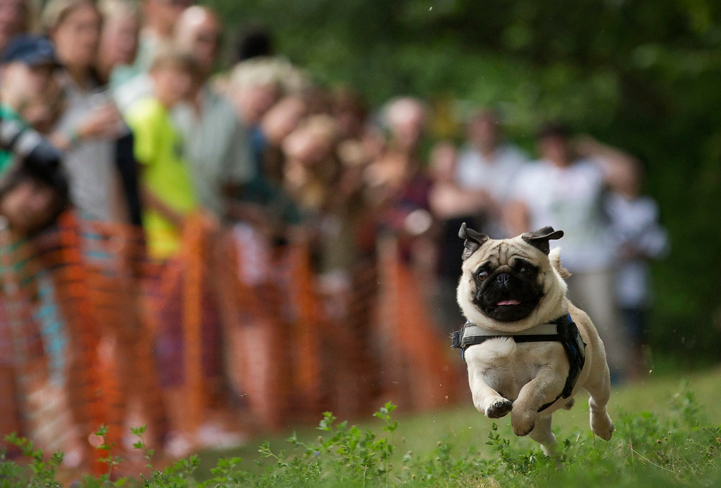 . Alfred competes in a pug race during a pug dog meeting in Berlin August 3, 2013. Thirty one dogs took part in the competition that was organized by a local pug dog association. REUTERS/Thomas Peter