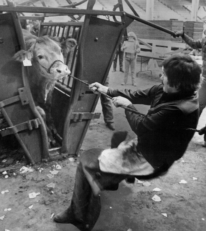 . Bill Waneka, assistant junior beef superintendent of the National Western Stock Show, pulls a steer out of the gate of a branding cage after the animal was jaw- branded  in preparation for the 73rd National Western. 1979. Dave Buresh, The Denver Post