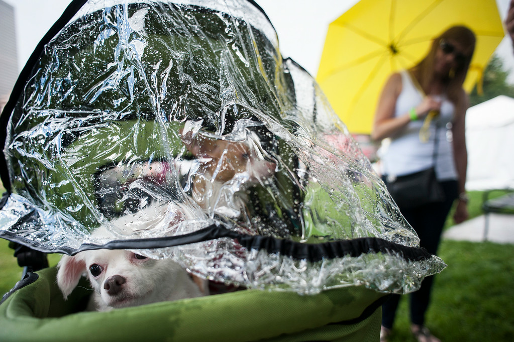 . Chihuahuas Milla and Rusty take shelter during a brief shower while their owner, Michelle Janssen, right, watch, during Woof Fest! in downtown Denver, Colorado, Sunday, August 17, 2014. Milla, right, is leucistic, which causes a reduced amount of pigmentation, and has a higher sensitivity to sunlight. The free festival included two music stages, food trucks, and space for pets and their owners to play. ((Photo By Brenden Neville/Special to The Denver Post))