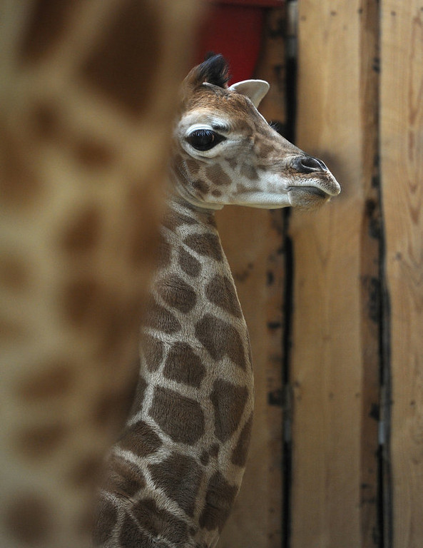""". A baby giraffe named Kimarie, only a few days old, stands next to her mother Marie in an enclosure at the \""""ZOOM\"""" Zoo in Gelsenkirchen, western Germany on March 12, 2012. The 170 cm tall baby giraffe was born 3 days ago.     PATRIK STOLLARZ/AFP/Getty Images)"""
