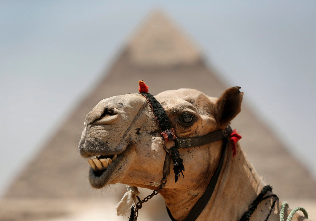 . A camel stands in front of the Khafre pyramid, at the historical site of the Giza Pyramids, near Cairo, Egypt, Tuesday, Aug. 27, 2013. Due to the country\'s violent turmoil, some flights that can carry more than 100 passengers from Europe arrive with just nine and return full from beach resorts. In a statement released Monday, the chairman of the Egyptian Airports Co. said Egypt will likely see an even steeper decline in the number of visitors by next month. (AP Photo/Lefteris Pitarakis)