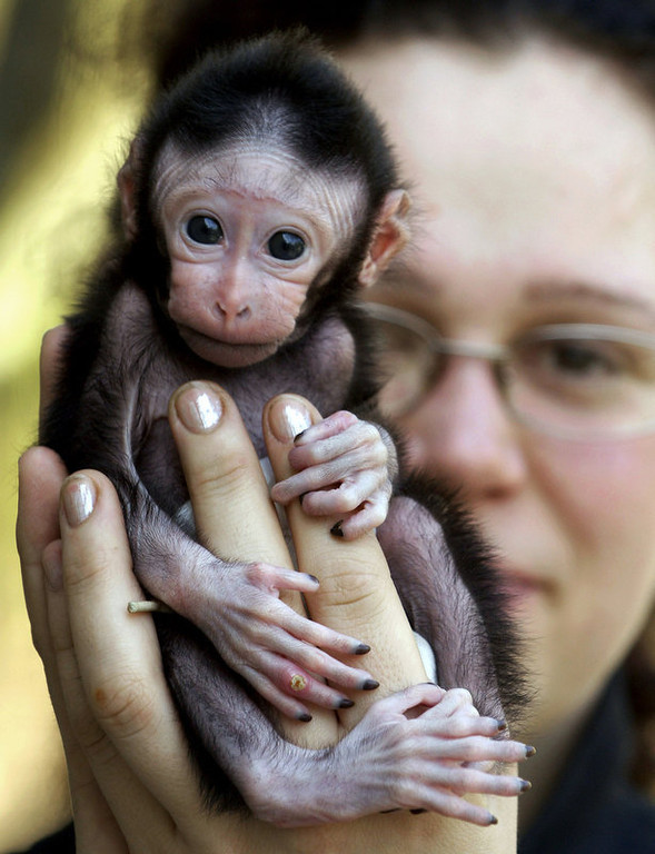 . Animal keeper Sabina Gloecknerova holds a three-week-old male Celebes Crested Macaque at the zoo in Decin, north of Prague. The baby ape, named Satu, was refused by his mother and intensive human care for Satu is now inevitable. (AP Photo / CTK, Libor Zavoral)