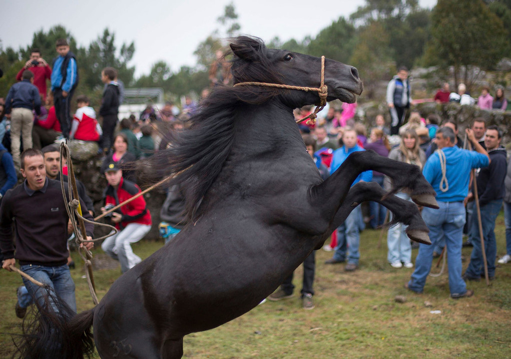 ". Men catch a wild horse during the ""Rapa Das Bestas\"" event in Mougas, northwestern Spain, June 9, 2013. Throughout the summer hundreds of wild horses are rounded up, trimmed and groomed in different villages in Galicia. REUTERS/Miguel Vidal"