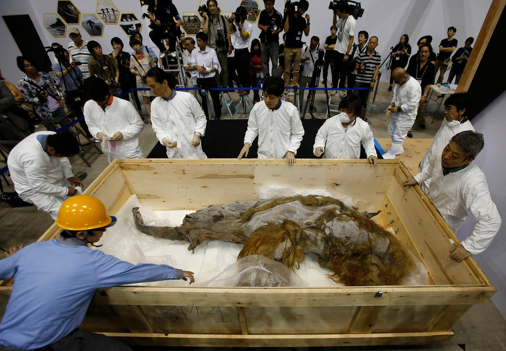 . A 39,000-year-old female Woolly mammoth, which was found frozen in Siberia, Russia is seen upon its arrival at an exhibition hall in Yokohama, south of Tokyo, July 9, 2013. The mammoth will be on display from July 13, 2013 till September 16, 2013.   REUTERS/Toru Hanai