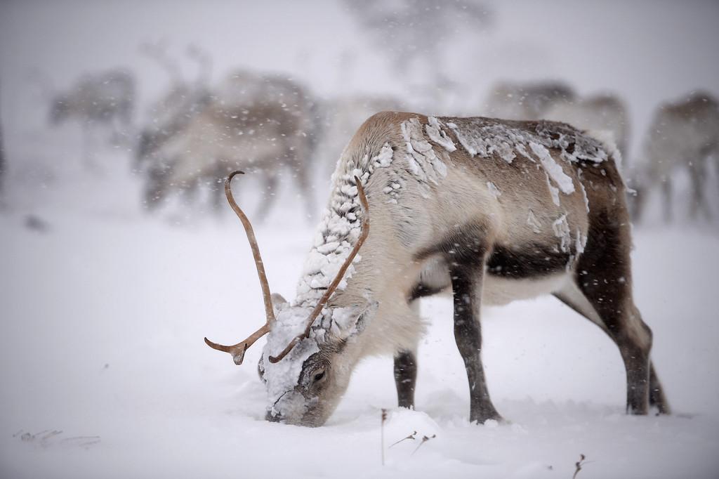 . Reindeer from the Cairgorm Reindeer Herd walk through heavy snow on December 23, 2013 in Aviemore, Scotland.   (Photo by Jeff J Mitchell/Getty Images)