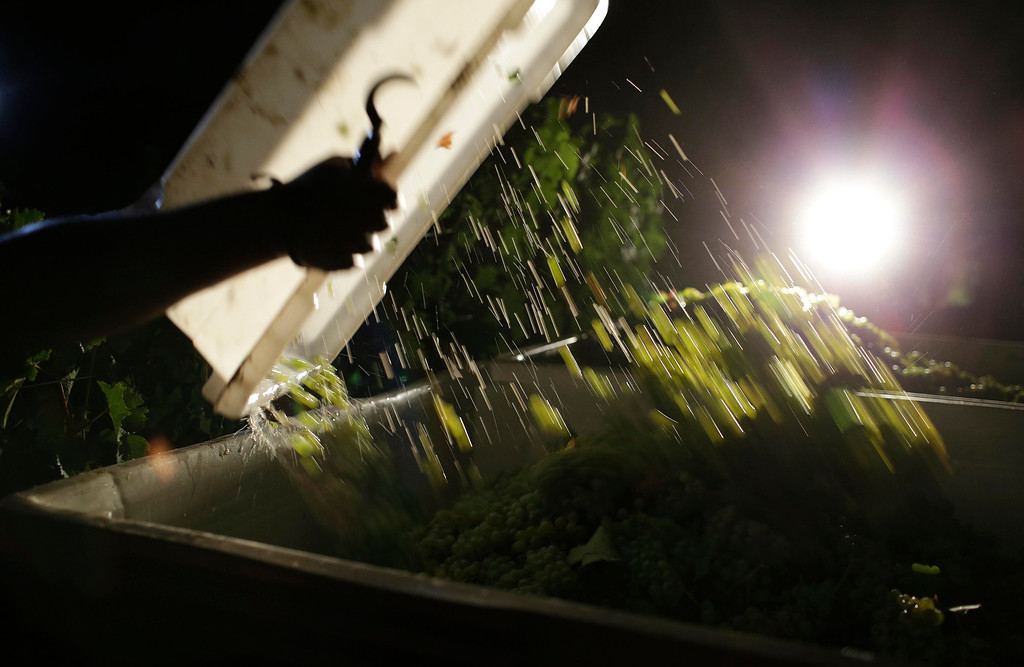. A load of Sauvignon Blanc grapes are dropped into a bin during harvest at Ehlers Estate winery Wednesday morning, Aug. 28, 2013 in St. Helena, Calif. The harvest is underway in the Napa Valley with the picking of grapes for white and sparkling wine. (AP Photo/Eric Risberg)