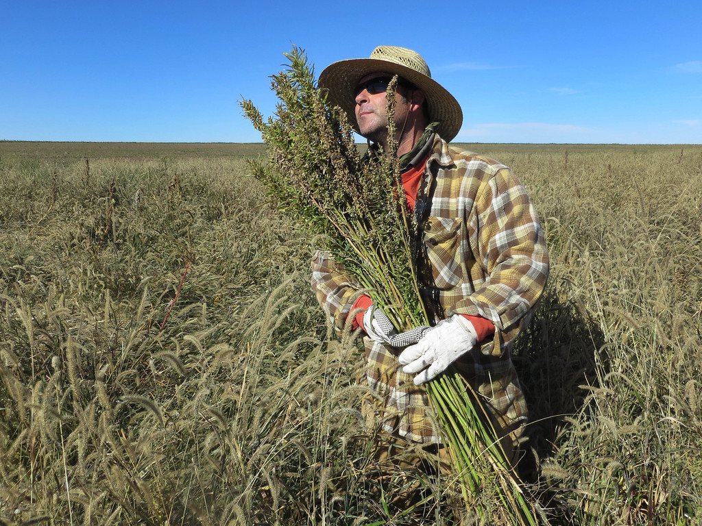 . In this Oct. 5, 2013 photo, Derek Cross, a chef who specializes in cooking with hemp, helps harvest the plant in Springfield, Colo. Although it canít be grown under federal drug law, about two dozen Colorado farmers grew marijuanaís non-intoxicating cousin in the summer. This is the first known harvest of the industrial version of Cannabis sativa in the U.S. since the late 1950s. (AP Photo/Kristen Wyatt)