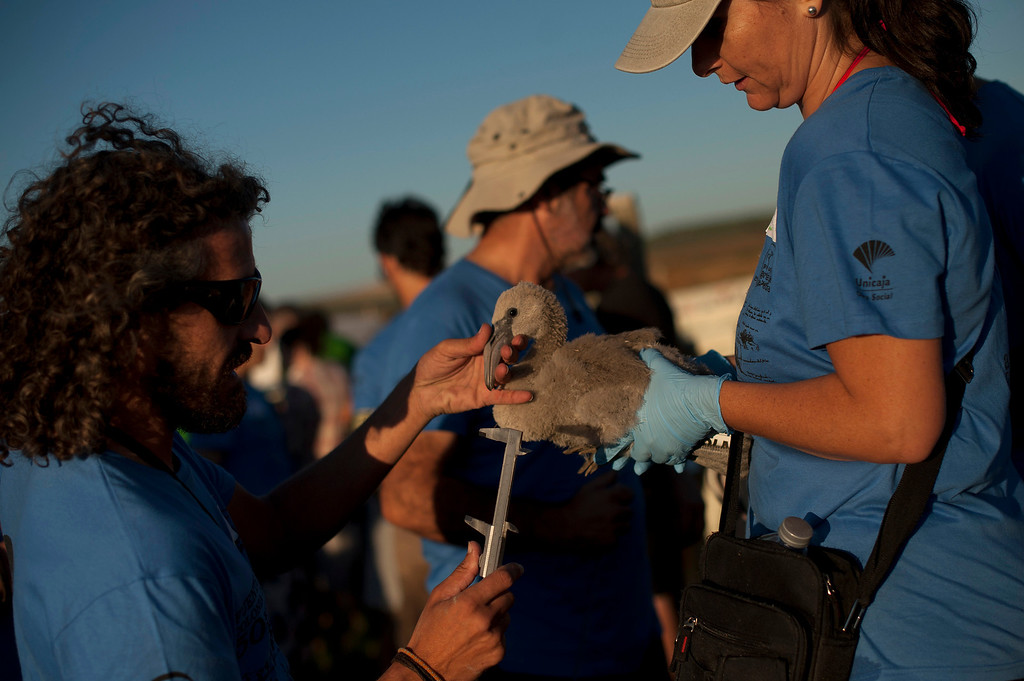 . A volunteer tags a flamingo chick at the Fuente de Piedra lake, 70 kilometres from Malaga, on August 10, 2013, during a tagging and control operation of flamingo chicks to monitor the evolution of the species. The lake, which is the most important breeding ground for flamingos in the Iberian Peninsula, is also a nature reserve and a haven for birds with over 170 different species recorded.  Jorge Guerrero/AFP/Getty Images