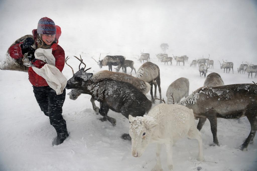 . Eve Grayson, a Reindeer herder of the Cairgorm Reindeer Herd, feeds the deer on December 23, 2013 in Aviemore, Scotland.   (Photo by Jeff J Mitchell/Getty Images)