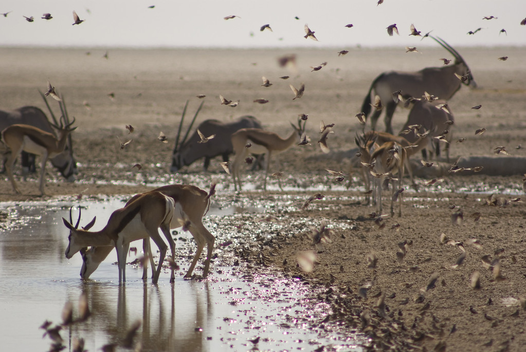 . Springbok, oryx and Finch-larks - just a few of the hundreds of animals gathering at a single waterhole in Etosha, Namibia. At the height of the dry season, even a trickle of water is enough to attract huge numbers of usually solitary animals to drink.   Discovery Channel