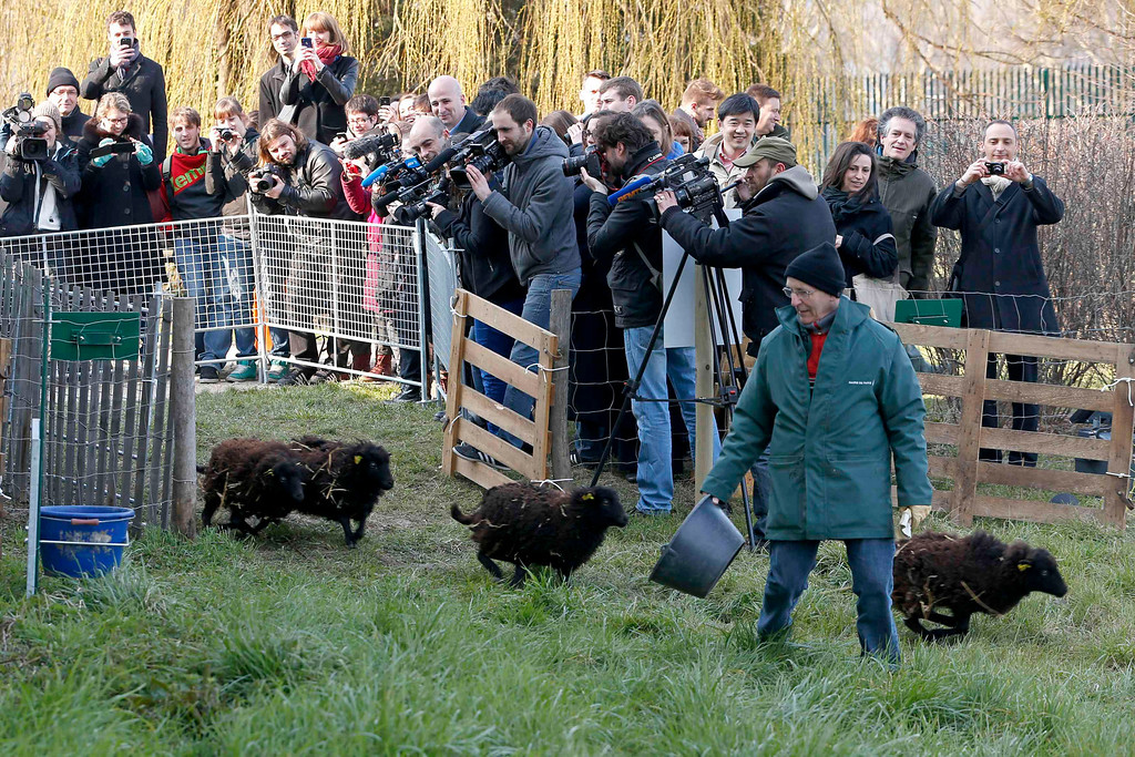 . Journalists shoot the arrival of four sheep for the launching of an ?eco-grazing? experiment with a group of Ouessant sheep in a 2000m? green space owned by the French capital?s archives service, in the 19th district in Paris April 3, 2013. The goal of the experiment is for sheep to graze at intervals until autumn on the parcel of land and to maintain it without weed-killers .   REUTERS/Charles Platiau  (FRANCE - Tags: ENVIRONMENT ANIMALS MEDIA TPX IMAGES OF THE DAY)