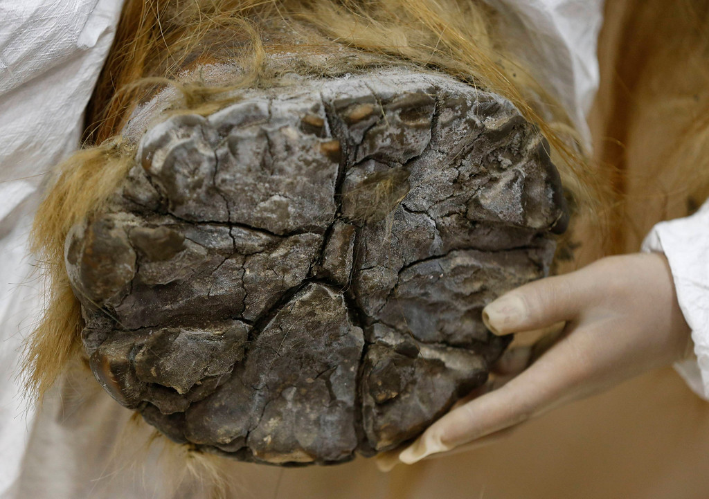 . A foot of the 39,000-year-old female Woolly mammoth, which was found frozen in Siberia, Russia is pictured upon its arrival at an exhibition hall in Yokohama, south of Tokyo, July 9, 2013. The mammoth will be on display from July 13, 2013 till September 16, 2013.   REUTERS/Toru Hanai