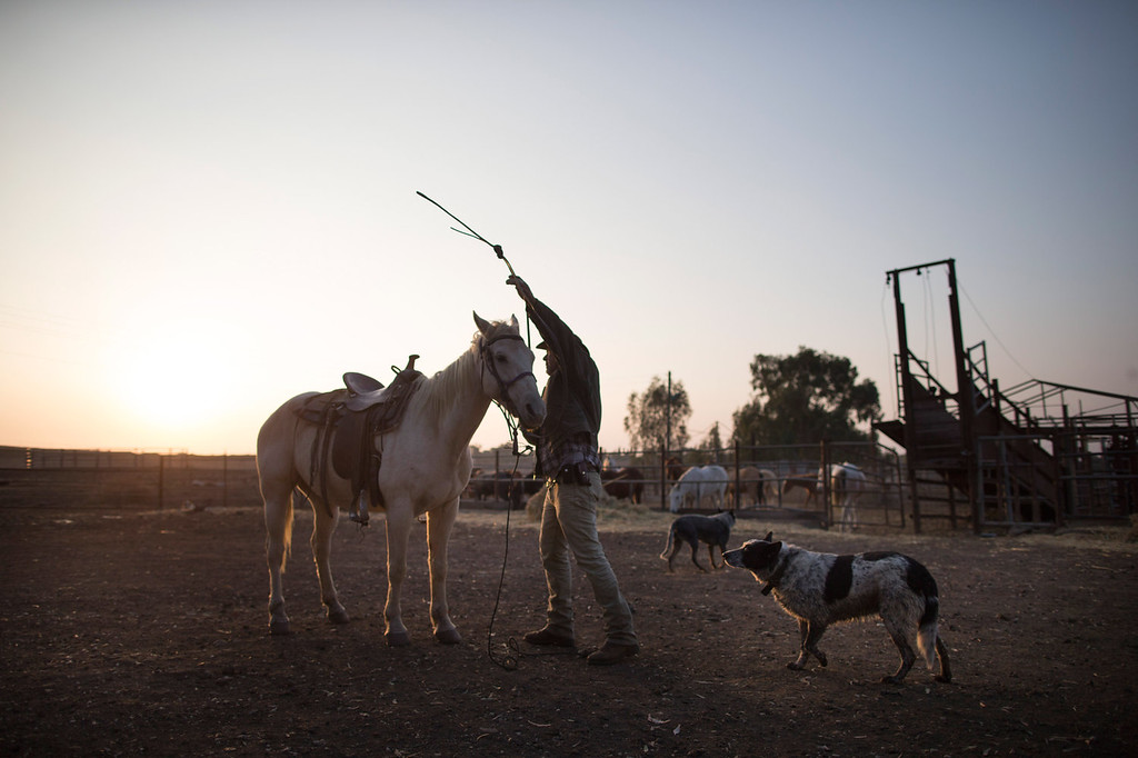 . Israeli cowboy Wafik Ajamy begins his day at dawn in the Merom Golan ranch on November 14, 2013 in the Israeli-annexed Golan Heights. Israeli cowboys have been growing beef cattle in ranches on the Golan Heights disputed strategic volcanic plateau for over 30 years, Land which is also used by the Israeli army as live-fire training zones. The disputed plateau was captured by Israel from the Syrians in the 1967 Six Day War and in 1981 the Jewish state annexed the territory.   (Photo by Uriel Sinai/Getty Images)