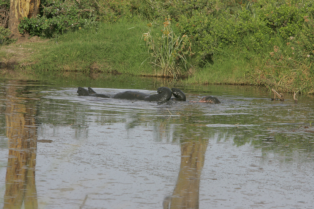 . A hippo rolls onto it\'s back to cool off in in a swamp in Serengeti National Park, Tanzania, Africa.