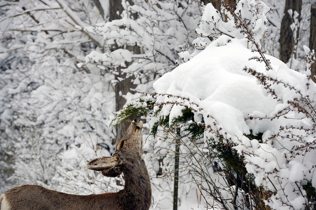 . A young deer eats small buds from a tree amongst the snowy limbs in Boulder, CO on April 16, 2013. A spring snowstorm, dumped over 14 inches of snow in Boulder, CO  and more snow is in the forecast.   (Photo By Helen H. Richardson/ The Denver Post)