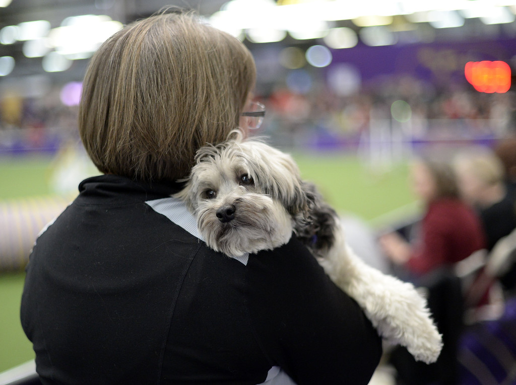 . A Lowchen waits to compete in the Agility Ring during the First-ever Masters Agility Championship on February 8, 2014 in New York at the 138th Annual Westminster Kennel Club Dog Show. Dogs entered in the Agility trial will be on hand to demonstrate skills required to negotiate some of the challenging obstacles that they will need to negotiate.     TIMOTHY A. CLARY/AFP/Getty Images
