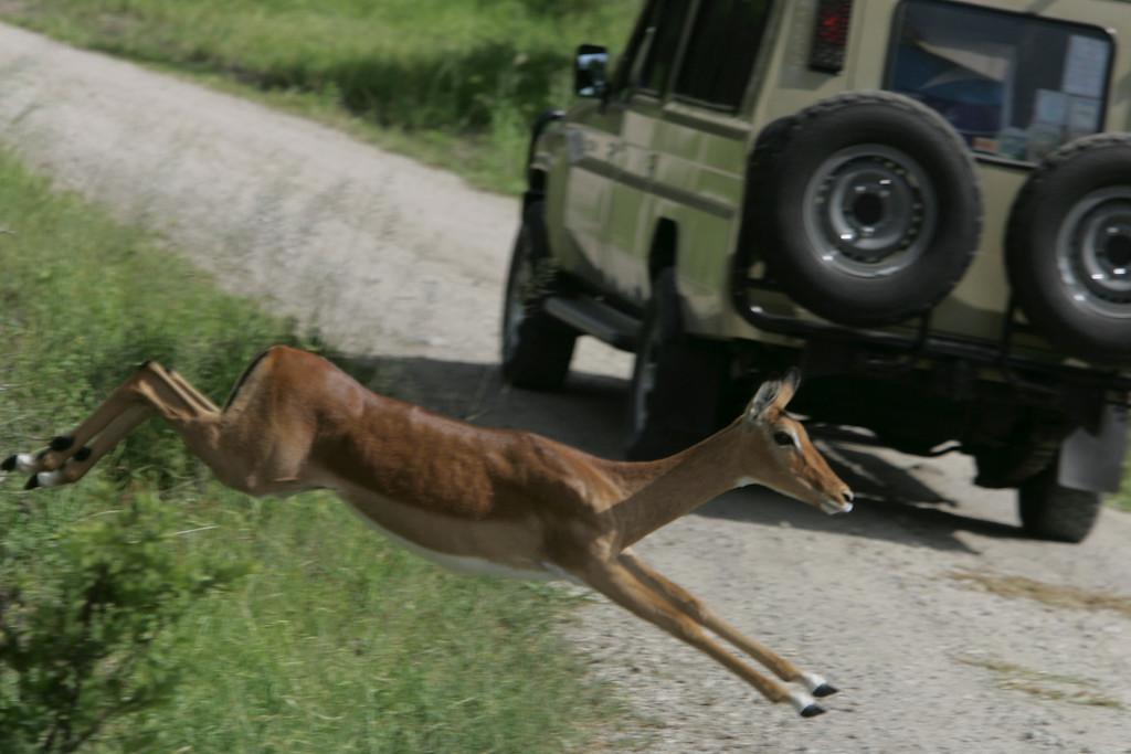 . An impala jumps across a road behind a Land Cruiser on safari in Tarangire National Park, Tanzania, Africa.