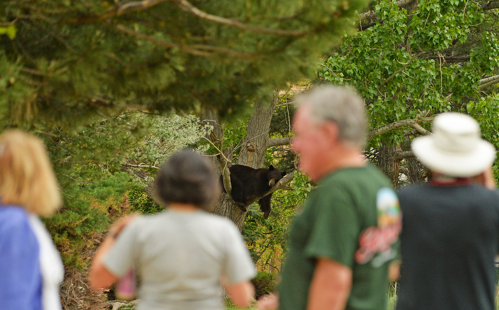 . Nearby residents watch a mother black bear and her two cubs rest in a tree in the Wonderland Lake neighborhood in Boulder, May 21, 2014. Officials are hoping the bears with move west soon back into the mountain and away from people. (Photo by RJ Sangosti/The Denver Post)