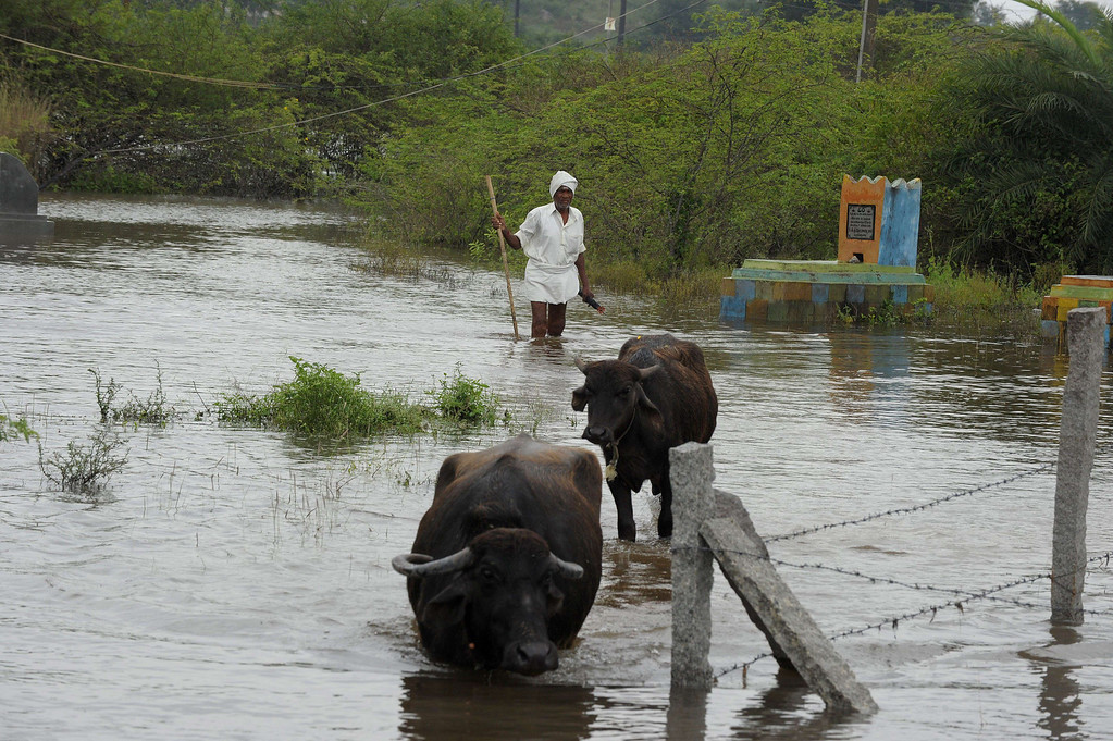 . An Indian man herds buffalo through floodwaters following heavy monsoon rain in the Hayat Nagar district, on the outskirts of Hyderabad on October 26, 2013.  Torrential rains made rivers spill their banks in India\'s eastern coastal states of Orissa and Andhra Pradesh, forcing thousands to flee their homes and seek refuge in shelters, two weeks after India\'s most severe cyclone in 14 years lashed the coastline. NOAH SEELAM/AFP/Getty Images