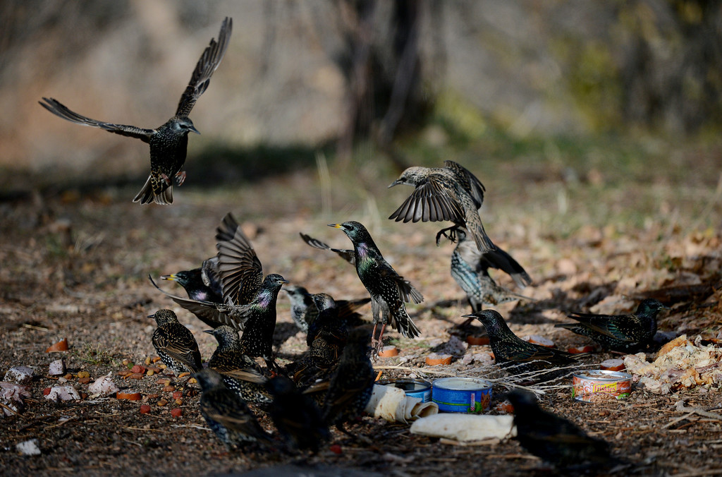 . Birds eat food left for a colony of feral cats living along South Platte River Dr. in Denver, CO, Thursday December 06, 2012. Craig F. Walker, The Denver Post