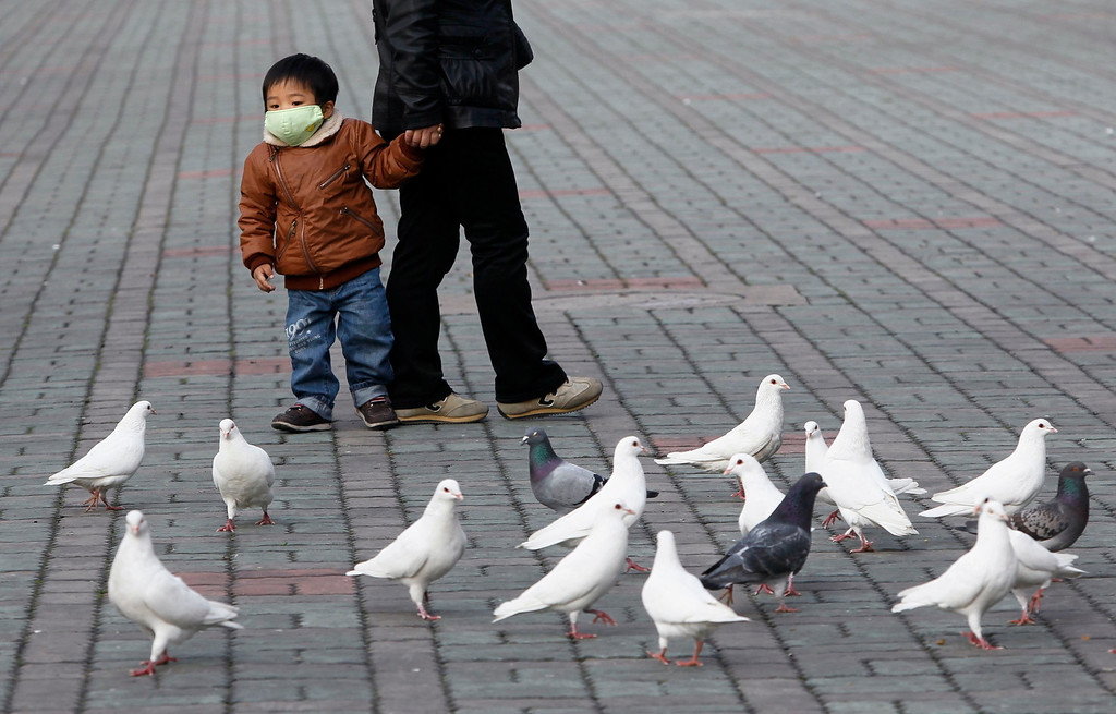 . A boy looks at pigeons at a public park in People Square, downtown Shanghai April 6, 2013. Health authorities in China said on Saturday that the country\'s 16 confirmed H7N9 bird flu cases were isolated and showed no sign that it is transmitted from human to human, Xinhua News Agency reported. Shanghai municipal government has ordered workers to remove pigeons from public area to prevent the spread of H7N9 bird flu to humans, local media reported.  REUTERS/Aly Song