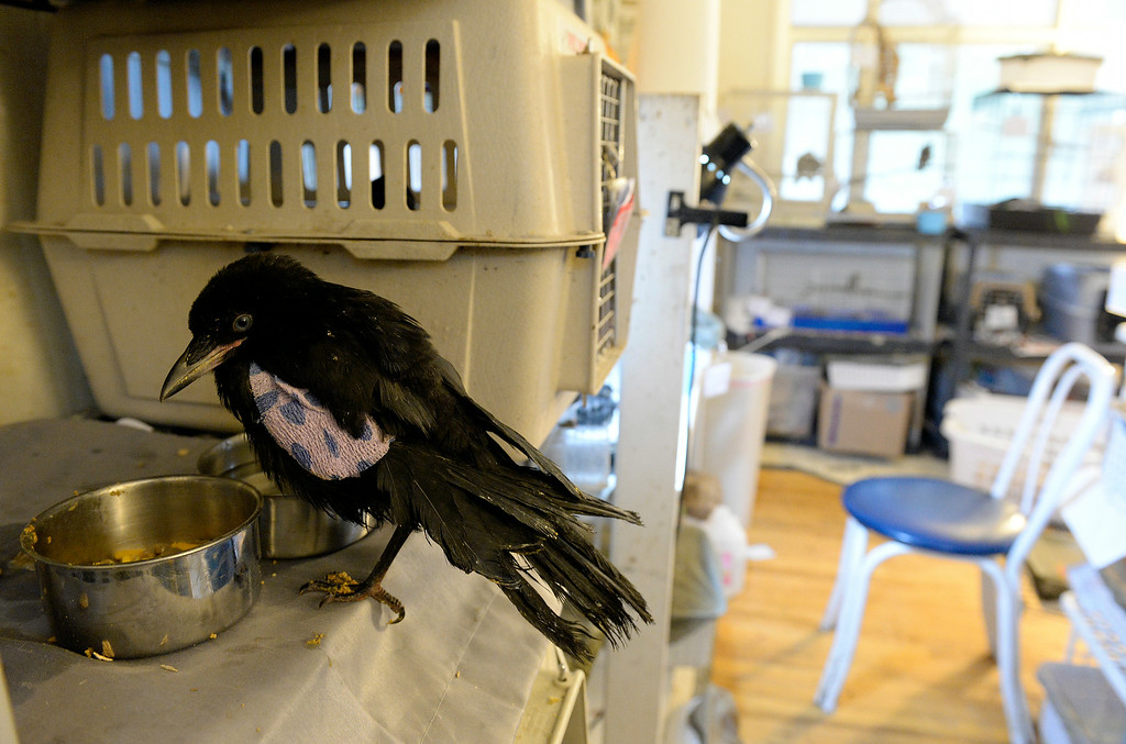 . DENVER, CO - JULY 30:  Wild B.I.R.D. Rehabilitation Center  will be closing it\'s doors, at the 1880 S. Quebec Way location, on September 1, 2014. They have cared for thousands of  sick, injured or abandoned birds.   A crow with a fractured wing in the baby room at the center on  Wednesday, July 30, 2014.   They are closing because it is neither sustainable, nor properly zoned for the organization�s needs. They are fund raising to open at a new location in Wheat Ridge. (Denver Post Photo by Cyrus McCrimmon)
