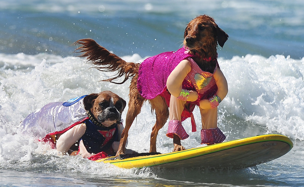. Hanzo (L) and Kalani (R) surf in tandem during the 5th Annual Surf Dog competition at Huntington Beach, California, on September 29, 2013.  AFP PHOTO/Frederic J. BROWN/AFP/Getty Images