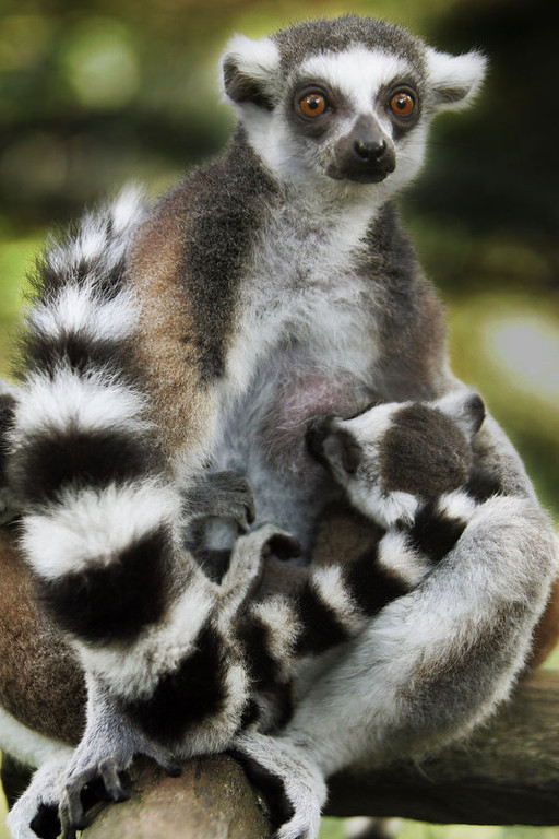""". Flossie, an adult female ring tailed Lemur feeds one of her three-month-old babies Wednesday, July 13, 2005 at the Singapore Zoo.  Flossie and an adult male, Ike, who like the lemur stars of the animated film \""""Madagascar,\"""" are originally from Madagascar, but arrived earlier this year from a Canadian zoo.(AP Photo/Ed Wray)"""